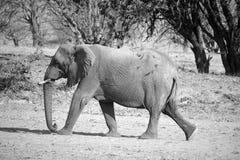 Elefanti del deserto Fotografia Stock Libera da Diritti
