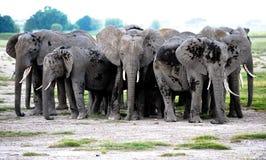 Elefanti del gruppo in savanna africana. Safari Kenia Fotografia Stock
