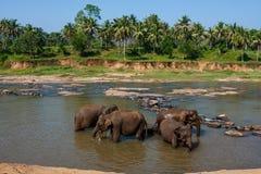 Elefanti dell'orfanotrofio dell'elefante di Pinnawala che bagna nel fiume Fotografia Stock