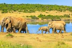 Elefanti della famiglia nel Sudafrica fotografie stock