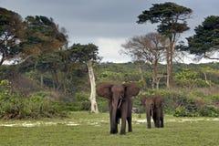 Elefanti della foresta Immagini Stock