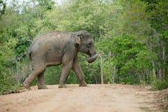 Elefanti della foresta Immagine Stock