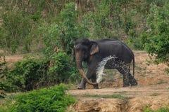 Elefanti della foresta Fotografie Stock