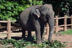Elefanti della Sri Lanka - parco di Pinnawale Fotografia Stock Libera da Diritti
