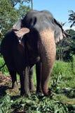 Elefanti della Sri Lanka - parco di Pinnawale Fotografia Stock