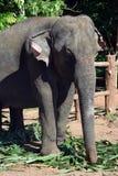 Elefanti della Sri Lanka - parco di Pinnawale Immagini Stock Libere da Diritti