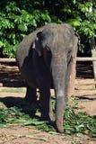 Elefanti della Sri Lanka - parco di Pinnawale Fotografie Stock Libere da Diritti