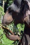 Elefanti della Sri Lanka - parco di Pinnawale Fotografie Stock