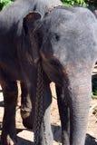 Elefanti della Sri Lanka - parco di Pinnawale Immagine Stock Libera da Diritti
