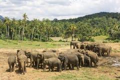 Elefanti dello Sri Lanka Fotografie Stock
