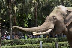 Elefanti dello zoo della città di Chongqing di cinese immagini stock