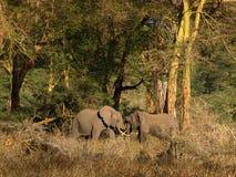 Elefanti di Bull Immagine Stock Libera da Diritti