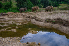 Elefanti di camminata Immagini Stock Libere da Diritti