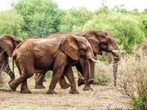 Elefanti di camminata Immagini Stock