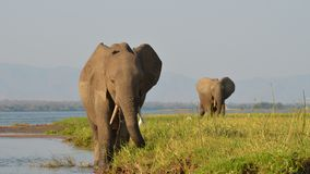 2 elefanti di camminata Fotografie Stock Libere da Diritti