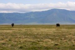 Elefanti di camminata in Africa Fotografia Stock