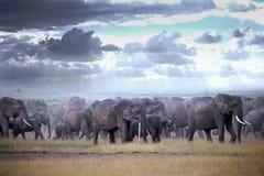 Elefanti di camminata del gregge sulla savana africana Fotografia Stock
