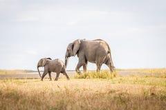 Elefanti di camminata in Sabi Sands Fotografia Stock Libera da Diritti
