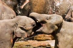 Elefanti di combattimento Fotografie Stock Libere da Diritti