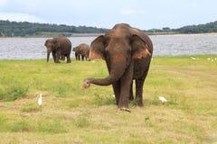 Elefanti 6 di Kaudulla Fotografia Stock Libera da Diritti