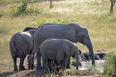 Elefanti di Kruger Fotografie Stock Libere da Diritti