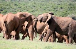 Elefanti di toro africani selvaggi che Jousting Immagine Stock