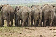 Elefanti dietro Fotografia Stock Libera da Diritti