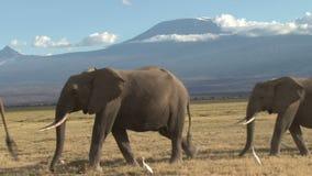 Elefanti e kilimanjaro video d archivio