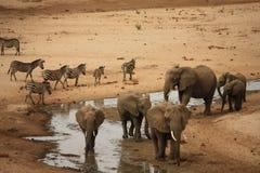 Elefanti e zebra, safari Tanzania Fotografie Stock