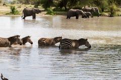 Elefanti e zebre nell'acqua Fotografia Stock