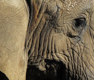 Elefanti (Elephantidae) Fotografie Stock Libere da Diritti