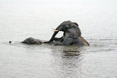 Elefanti facendo sesso nel fiume immagine stock