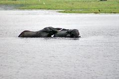 Elefanti facendo sesso nel fiume immagini stock