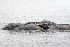 Elefanti facendo sesso nel fiume fotografie stock libere da diritti