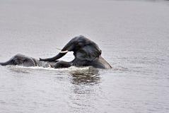 Elefanti facendo sesso nel fiume fotografia stock