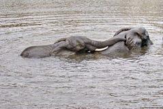 Elefanti facendo sesso nel fiume fotografia stock libera da diritti