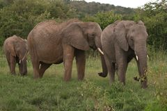 Elefanti famiglia, Masai Mara, Kenia Fotografia Stock Libera da Diritti