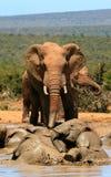 Elefanti fangosi Fotografie Stock
