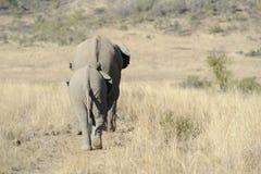 Elefanti in fila indiana Fotografia Stock Libera da Diritti