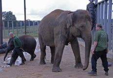 Elefanti indiani e custodi di zoo Inghilterra Regno Unito Fotografia Stock
