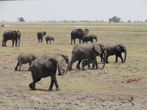 Elefanti in marcia Fotografia Stock Libera da Diritti