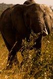 Elefanti in Masai Mara Fotografia Stock