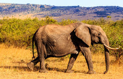 Elefanti in Masai Mara Fotografie Stock Libere da Diritti