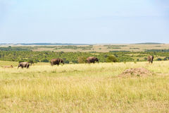 Elefanti in Masai Mara Immagini Stock