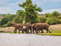 Elefanti nel fiume Fotografie Stock