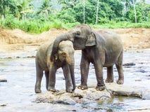 Elefanti nel fiume Immagini Stock