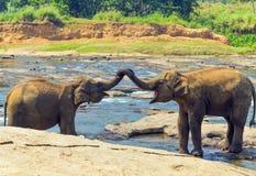 Elefanti nel fiume Immagini Stock Libere da Diritti
