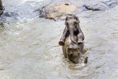 Elefanti nel fiume Maha Oya al pinnawala Immagine Stock Libera da Diritti