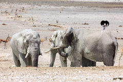 Elefanti nel parco Namibia di Etosha Fotografia Stock Libera da Diritti