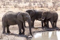 Elefanti nel parco Namibia di Etosha Immagini Stock Libere da Diritti